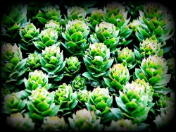 rhodiola rosea testosterone boosting herbal supplement
